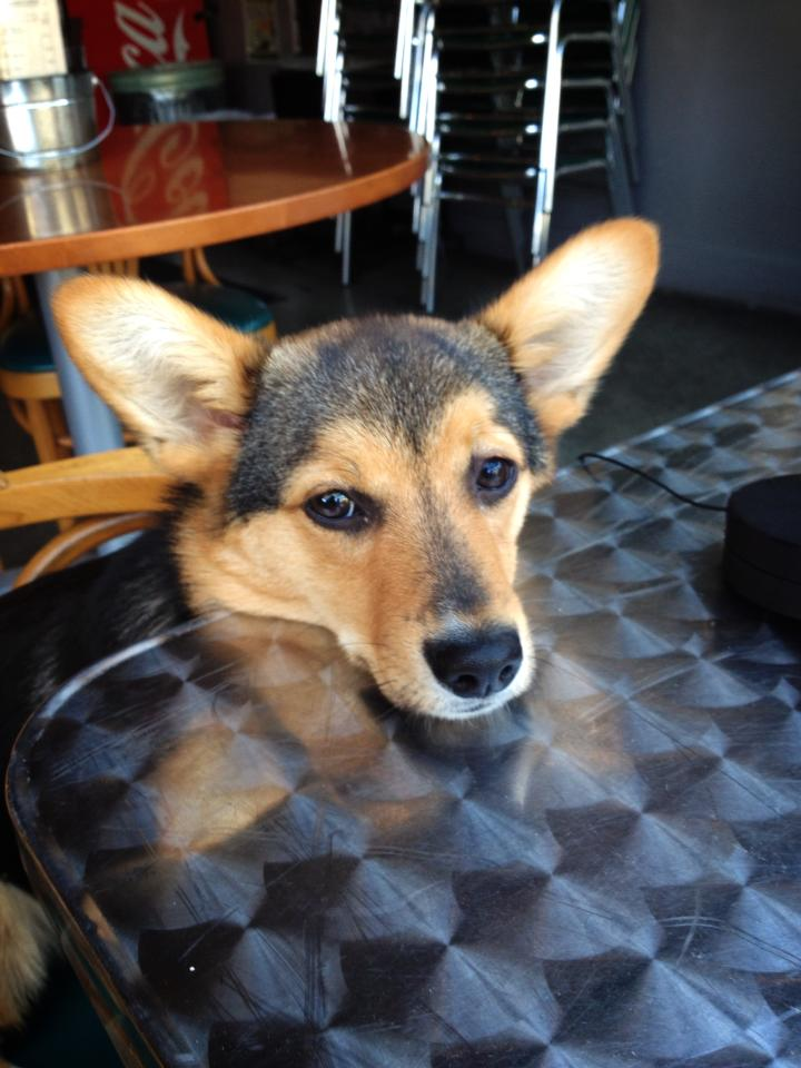 Gwen the Corgi at Auto Battery Sports Bar on Capitol Hill