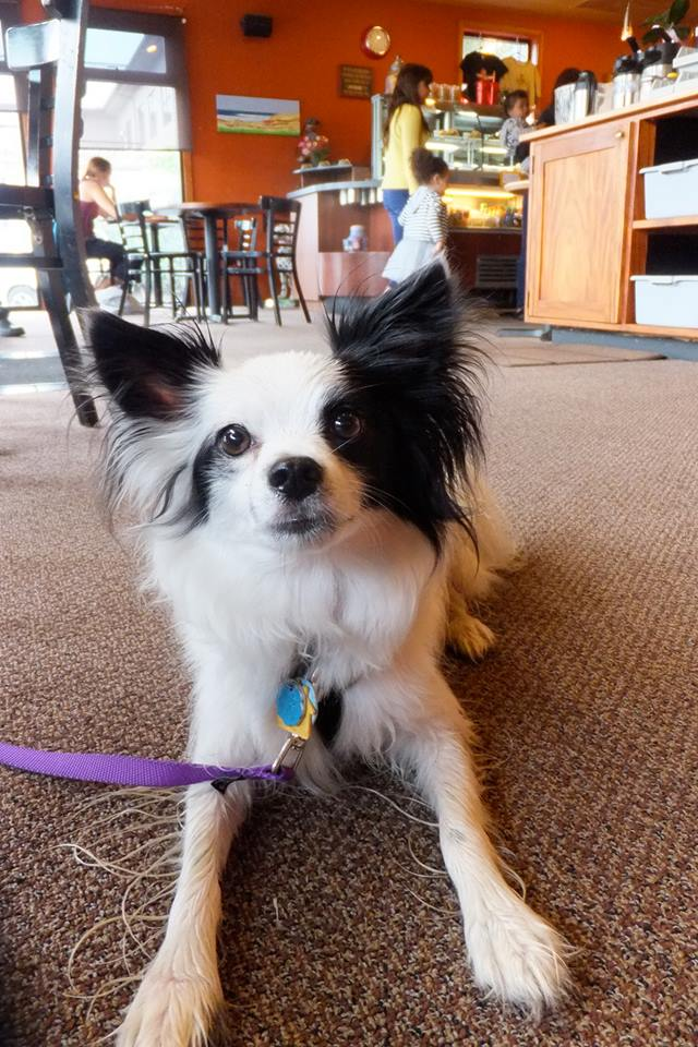 KIT the Papillon Dog at Ballard Firehouse Coffee