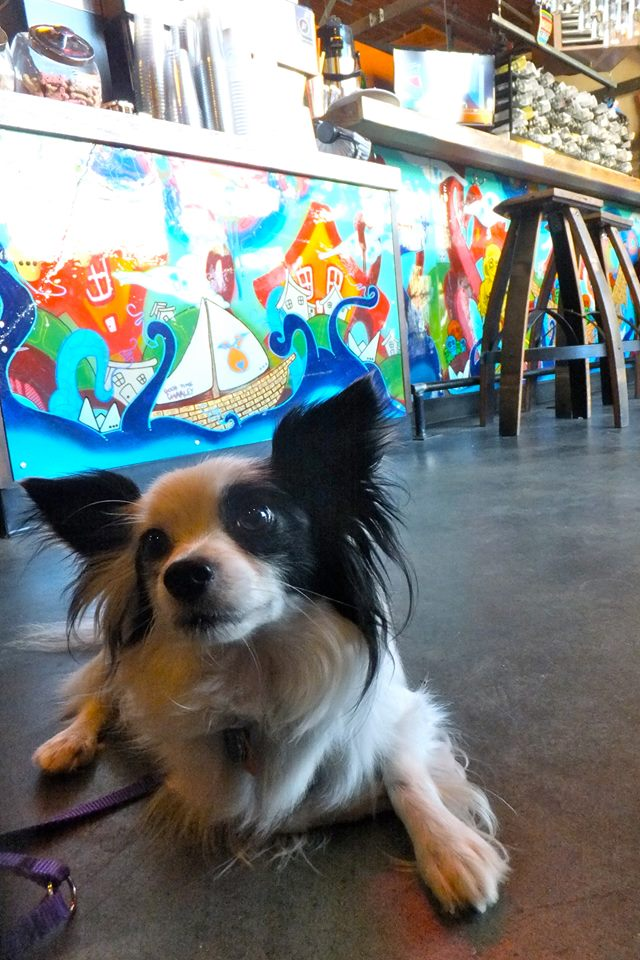 KIT the Papillon Dog at Kiss Cafe in Ballard